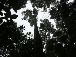 Sao Tomé, Parco d'Obò, la foresta primaria (2015) (foto Giorgio Pagano)
